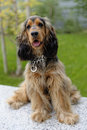 English cocker spaniel sable and black shaded Stock Images