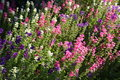 English Country Garden flowers Royalty Free Stock Photo