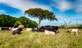 English countryside in june cows under a tree the at gribbin head cornwall Royalty Free Stock Images