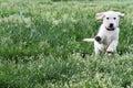 English Cream Labrador-Golden Retriever Royalty Free Stock Photo
