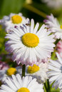 English daisy close up of a beautiful flowers bellis perennis Royalty Free Stock Image
