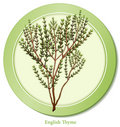 English herb thyme 库存照片
