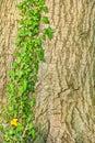 English ivy hedera helix beautiful green climbing up big tree trunk Stock Image