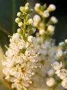 English Laurel Flowers Stock Images