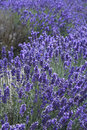 English lavender in blossom nature field Royalty Free Stock Photos