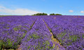 English lavender fields of purple in an landscape Royalty Free Stock Image