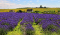 English lavender fields of purple in an landscape with houses in the background Stock Image