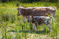 English long horned cattle adult and calf grazing on wetlands Stock Photos