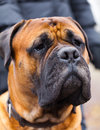 English mastiff dog breed in the park Stock Images