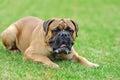 English Mastiff dog Royalty Free Stock Photo
