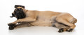 English mastiff puppy laying down on white background Royalty Free Stock Images