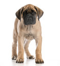 English mastiff puppy standing looking at viewer on white background Stock Image