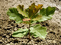 English oak tree sapling pedunculate two months from germination with second flush of leaves Royalty Free Stock Photos