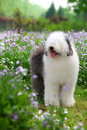 English old sheepdog Stock Photography