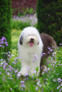 English old sheepdog Royalty Free Stock Photo