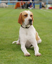 English Pointer Royalty Free Stock Images