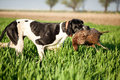 English pointer dog with pray hunted pheasants and carrying boss Royalty Free Stock Image