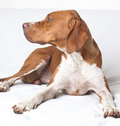 English Pointer (hunter dog) Royalty Free Stock Photo