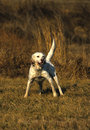English Pointer Hunting Stock Photo