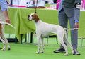 English pointer july th paris france in show stack at the world dog show Stock Images
