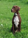 English Pointer on the meadow Stock Image