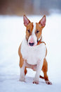 English red bull terrier on walk Royalty Free Stock Image