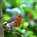 English Robin Stock Photo
