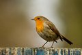 A english robin pearched on a fence aenglish with red breast sat wooden Royalty Free Stock Image