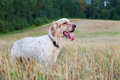 English setter with brown spots on field wheat Stock Photos
