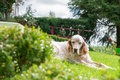 English Setter dog in the blazing sun laying on grass Royalty Free Stock Photo