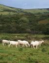 English sheep Stock Image