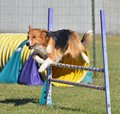 English Shepherd at a Dog Agility Trial Royalty Free Stock Photo