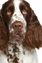 English Springer Spaniel. Close-up portrait Royalty Free Stock Photo
