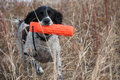 English springer spaniel with retriever dummy a black and white retrieving an orange through a field of dried grasses Royalty Free Stock Images