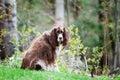 English springer spaniel scruffy dog outdoors on green grass Stock Photos