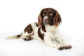 English springer spaniel studio shot of purebred dog Stock Photography