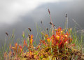 English sundew carnivorous plant growing on a shore of a small lake Stock Images