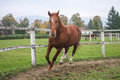 English thoroughbred in the afternoon training Stock Image