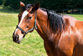 English thoroughbred horse Royalty Free Stock Photo