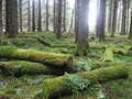 English woodland an in winter with fallen moss covered trees Royalty Free Stock Images