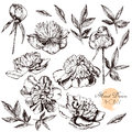 Engraved hand drawn illustrations of ornate peonies vector Stock Photo