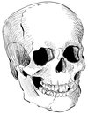 Engraved human skull vintage drawn with illustrator s brushes Royalty Free Stock Image