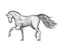 Engraved vintage horse is hand drawn and live traced fills and outlines are separate groups colors can be changed easily Royalty Free Stock Image