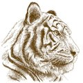 Engraving illustration of tiger head