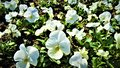 Gorgeous white violets in the garden