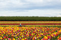 Enjoying The Tulips Royalty Free Stock Photo