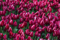 Enormous field of red and white tulips Royalty Free Stock Photo