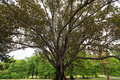 Enormous fig tree at fitzroy gardens melbourne australia Royalty Free Stock Images