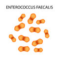 Enterococcus faecalis. Pathogenic flora. The bacterium causes intestinal diseases. Infographics. Vector illustration.