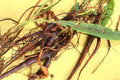 Entire harvested plants of yellow curly dock rumex with roots stems and leaves on yellow table Stock Photo